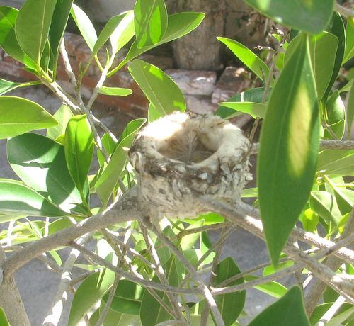 2011 3 March Hummingbird 001
