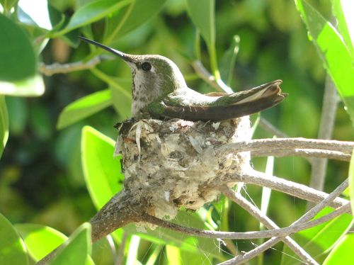 2011 3 March Hummingbird 011