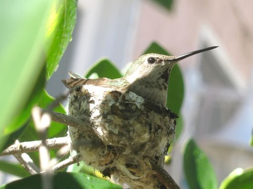 2011 3 March Hummingbird 013