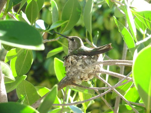 2011 3 March Hummingbird 012