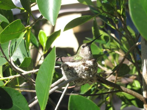 2011 3 March Hummingbird 008